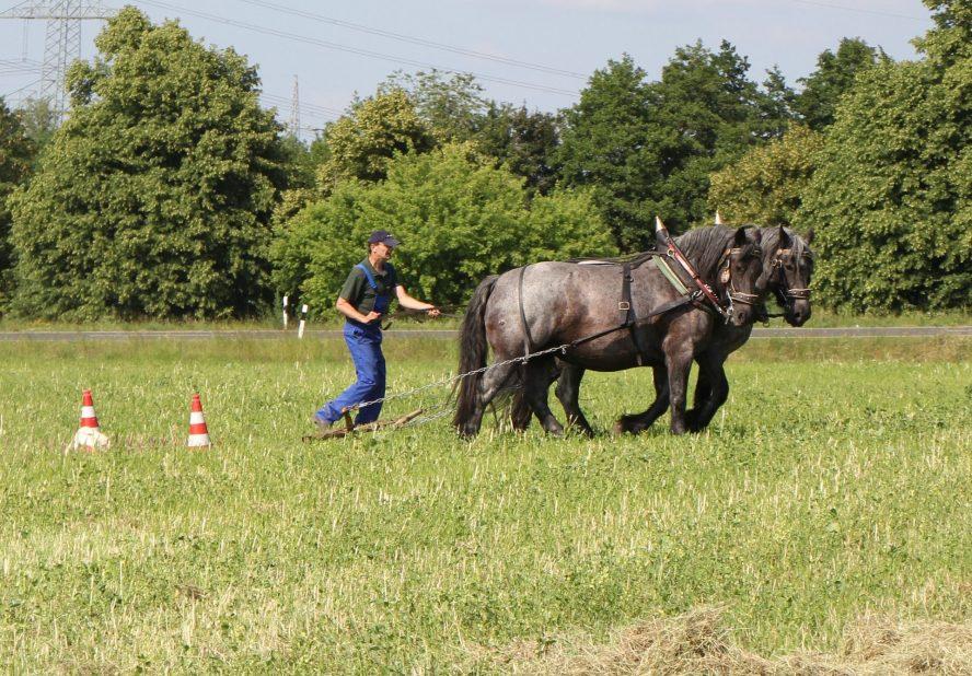demonstriert Thomas Feussner mit seinen Kaltblutpferden traditionellen Ackerbau