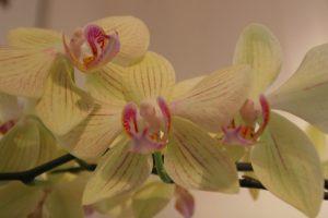 Orchidee mit mehreren Blüten und Rispen