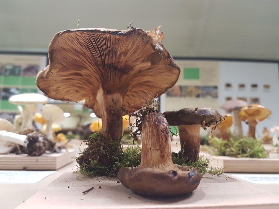 Ausgestellte Pilze