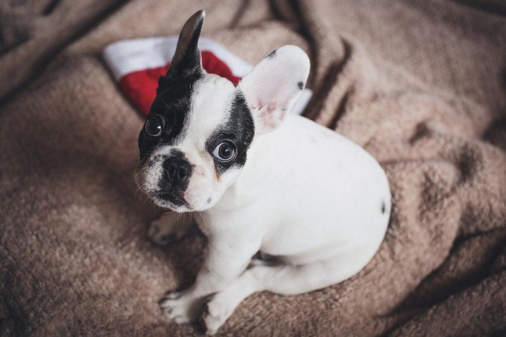 Ein kleiner Hund. Schaut in die Kamera. Sitzt auf einer Decke, daneben eine kleine Nikolausmütze.