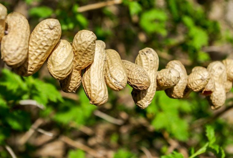 an einer Schnur aufgereihte Erdnüsse hängen im Baum.
