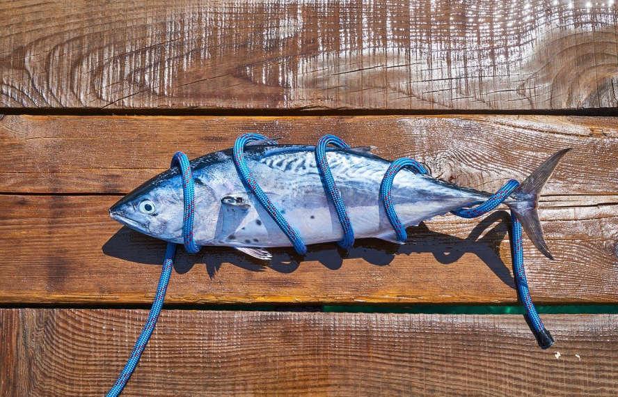 Toter Fisch, eingewickelt in blaues Seil auf Holzboden.