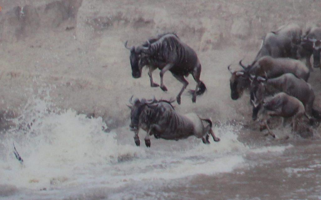 Gnus springen in eine Wasserstelle. Es sind an die acht Stück der gehörnten Tiere.