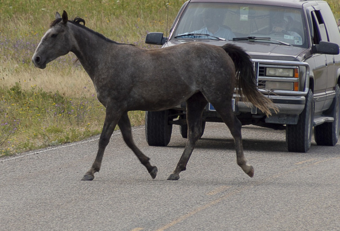 Pferd läuft vor ein Auto
