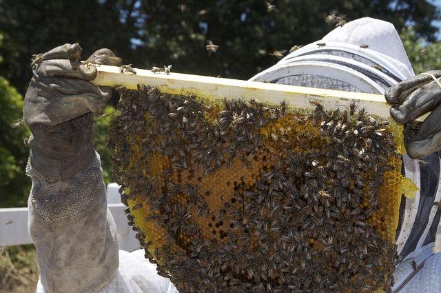 Imker mit Bienenwabe und Bienen dran