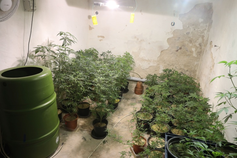 Hanfplantage im Keller. Viele Töpfe voll